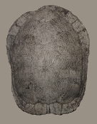 Large Turtle Shell