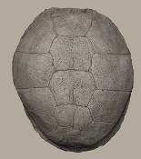 Medium Turtle Shell